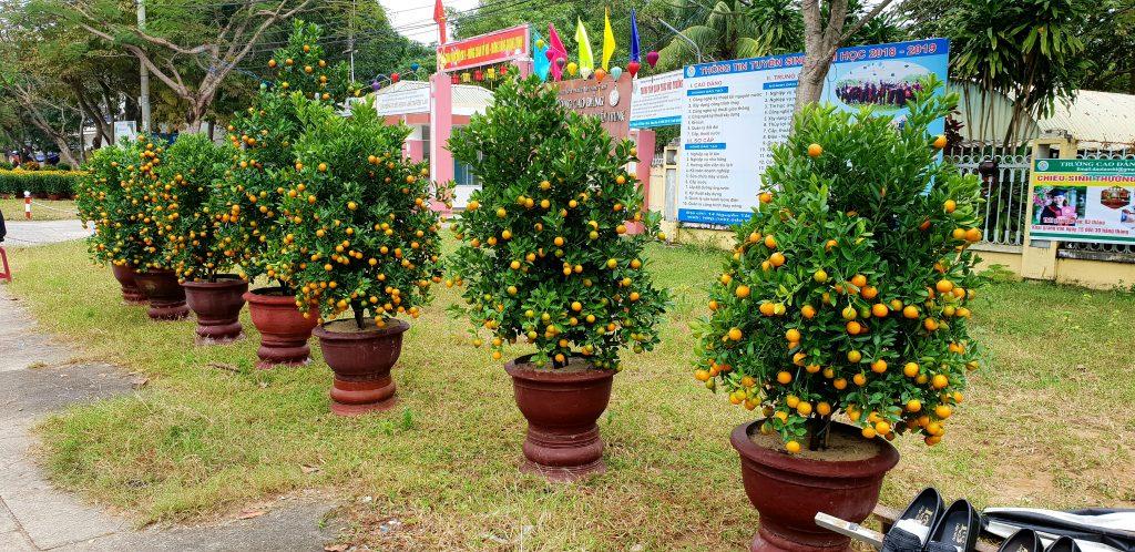 Zwergorangenbäume in Hoi An