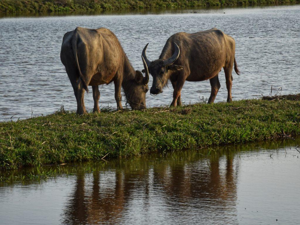 Wasserbüffel neben den überfluteten Reisfeldern